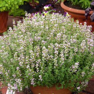THYM OFFICINAL - Thymus officinalis
