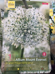ALLIUM MOUNT EVEREST X1