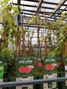 FRAMBOISIER 'SUGANA RED' EN POT DE 3L