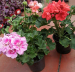 Geranium droit mix en pot de 10,5cm