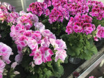 PELARGONIUM GRANDIFLORUM POT E12 VARIE